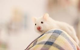 老鼠小的團體聲音素材