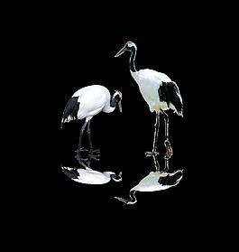 質感白鶴動物裝飾素材