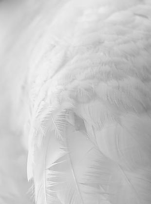白色羽毛背景