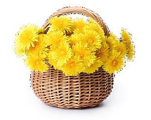 高清黃菊花花藍