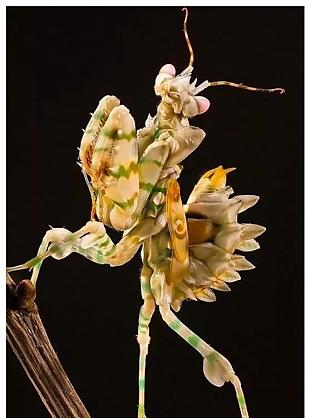 螳螂特写 金螳螂 金螳螂装饰 螳螂摄影