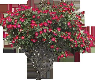 灌木绿叶红花春天(1311x1110)