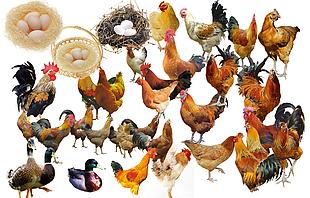 鸡鸭家禽分层素材