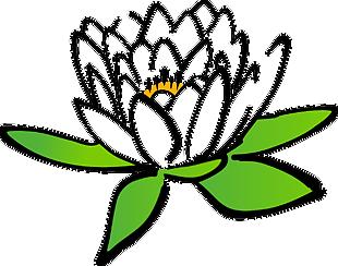 莲花 水百合 花 盛开 开花