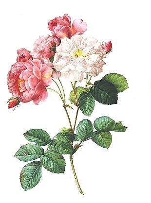 玫瑰 酿酒 花 花的古董 植物 浪漫
