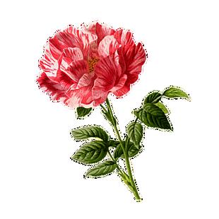玫瑰花 酿酒 艺术花的自然植物 爱 盛开