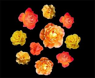 花朵 玫瑰花