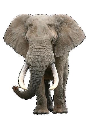 大象 素材