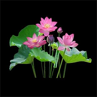 荷花 蓮花
