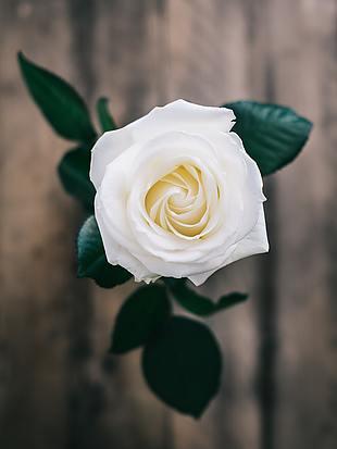 花 玫瑰 白玫瑰