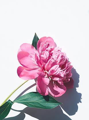 花 粉色花 一枝花