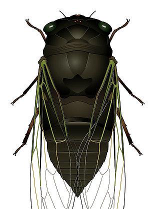昆虫蝉矢量素材