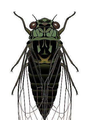 昆虫蝉矢量图素材