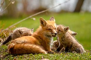狐狸 狐狸妈妈 动物 玩耍