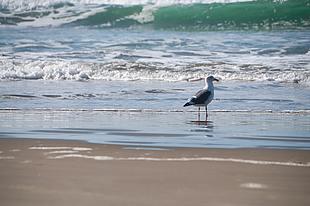海鸥 沙滩 浪花