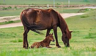 草原 马 棕色的马 小马